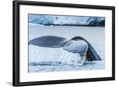 A Humpback Whale Tail Near Paradise Harbor, Antarctica-Ralph Lee Hopkins-Framed Photographic Print