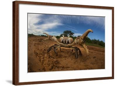 An Endangered Land Crab, Hydrothephusa Madagascariensis, from Madagascar-Cristina Mittermeier-Framed Photographic Print