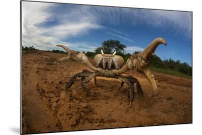 An Endangered Land Crab, Hydrothephusa Madagascariensis, from Madagascar-Cristina Mittermeier-Mounted Photographic Print