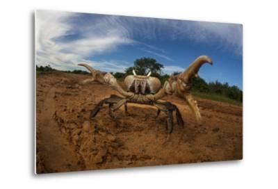An Endangered Land Crab, Hydrothephusa Madagascariensis, from Madagascar-Cristina Mittermeier-Metal Print