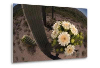 Close Up of Saguaro Cactus Flowers. the Flowers Open at Night and Close If the Day Is Too Hot-Bill Hatcher-Metal Print