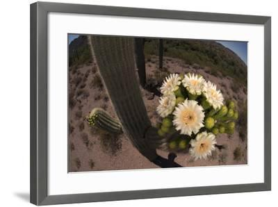 Close Up of Saguaro Cactus Flowers. the Flowers Open at Night and Close If the Day Is Too Hot-Bill Hatcher-Framed Photographic Print