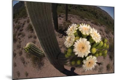 Close Up of Saguaro Cactus Flowers. the Flowers Open at Night and Close If the Day Is Too Hot-Bill Hatcher-Mounted Photographic Print