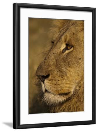 Close Up Portrait of a Male Lion-Beverly Joubert-Framed Photographic Print
