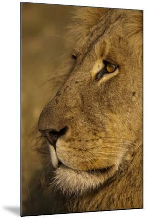 Close Up Portrait of a Male Lion-Beverly Joubert-Mounted Photographic Print