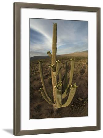 Flowering Saguaro Cactus in the Foothills of the Rincon Mountains, Saguaro National Park-Bill Hatcher-Framed Photographic Print
