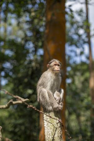 A Bonnet Macaque, Macaca Radiata, Sits on a Post to Keep Watch-Kelley Miller-Framed Photographic Print