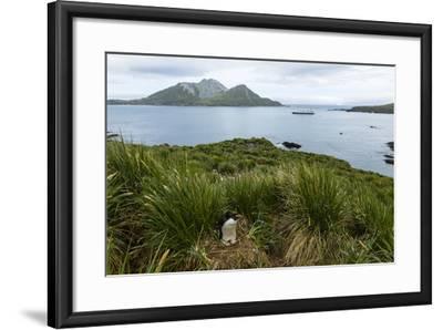 A Macaroni Penguin in Tussock Grass Near Cooper Bay, South Georgia, Antarctica-Ralph Lee Hopkins-Framed Photographic Print