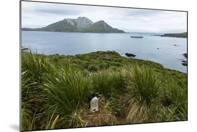 A Macaroni Penguin in Tussock Grass Near Cooper Bay, South Georgia, Antarctica-Ralph Lee Hopkins-Mounted Photographic Print