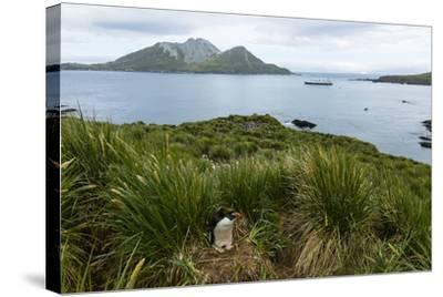 A Macaroni Penguin in Tussock Grass Near Cooper Bay, South Georgia, Antarctica-Ralph Lee Hopkins-Stretched Canvas Print