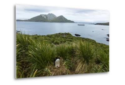 A Macaroni Penguin in Tussock Grass Near Cooper Bay, South Georgia, Antarctica-Ralph Lee Hopkins-Metal Print