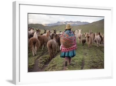 A Quechua Woman Herding Llamas, Alpacas, and Sheep Back to Town from Grazing in the Mountains-Erika Skogg-Framed Photographic Print