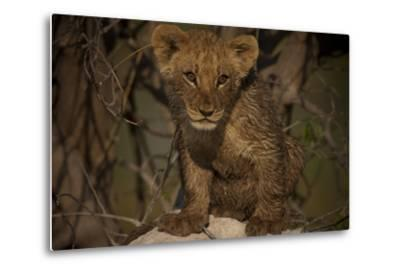 Portrait of a Lion Cub Sitting on Top of an Anthill-Beverly Joubert-Metal Print