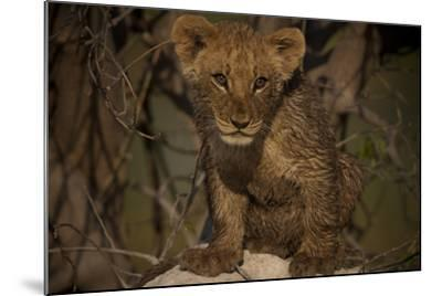 Portrait of a Lion Cub Sitting on Top of an Anthill-Beverly Joubert-Mounted Photographic Print