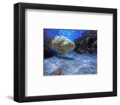 The Great Presence, 2001: a Massive Goliath Grouper Cruises its Rocky Habitat in Search of Food-Stanley Meltzoff-Framed Giclee Print