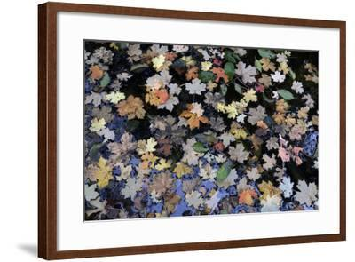 Fallen Leaves Floating in a Pond in Forest in the Santa Catalina Mountains-Bill Hatcher-Framed Photographic Print