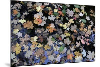 Fallen Leaves Floating in a Pond in Forest in the Santa Catalina Mountains-Bill Hatcher-Mounted Photographic Print