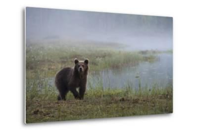 A Juvenile European Brown Bear, Ursus Arctos Arctos, Walking on a Lake Shore-Sergio Pitamitz-Metal Print