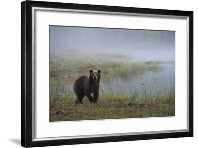 A Juvenile European Brown Bear, Ursus Arctos Arctos, Walking on a Lake Shore-Sergio Pitamitz-Framed Photographic Print