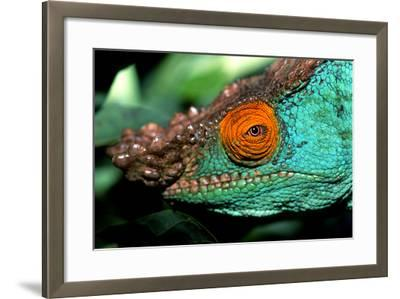 Close Up Portrait of a Male Parson's Chameleon, Callumma Parsonii-Cagan Sekercioglu-Framed Photographic Print