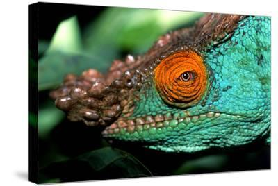 Close Up Portrait of a Male Parson's Chameleon, Callumma Parsonii-Cagan Sekercioglu-Stretched Canvas Print