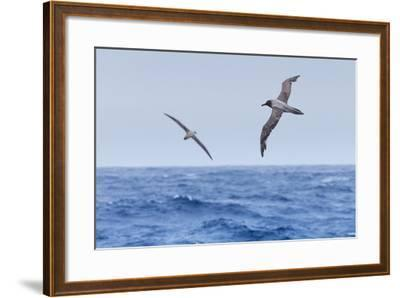 Two Light-Mantled Albatross in Flight in the South Shetland Islands, Antarctica-Ralph Lee Hopkins-Framed Photographic Print