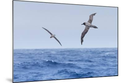 Two Light-Mantled Albatross in Flight in the South Shetland Islands, Antarctica-Ralph Lee Hopkins-Mounted Photographic Print