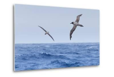 Two Light-Mantled Albatross in Flight in the South Shetland Islands, Antarctica-Ralph Lee Hopkins-Metal Print