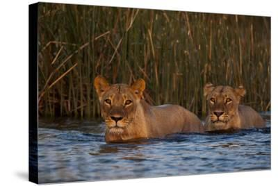 Two Lionesses Crossing a Spillway at Sunset-Beverly Joubert-Stretched Canvas Print