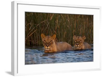 Two Lionesses Crossing a Spillway at Sunset-Beverly Joubert-Framed Photographic Print