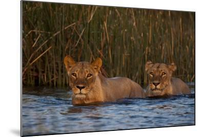 Two Lionesses Crossing a Spillway at Sunset-Beverly Joubert-Mounted Photographic Print