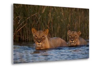 Two Lionesses Crossing a Spillway at Sunset-Beverly Joubert-Metal Print