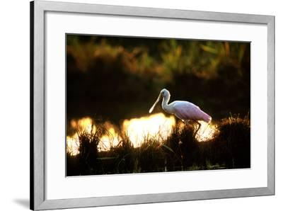 A Roseate Spoonbill, Platalea Ajaja, at Sunset in Palo Verde National Park-Cagan Sekercioglu-Framed Photographic Print
