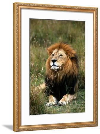 Portrait of a Male Lion, Panthera Leo-Cagan Sekercioglu-Framed Photographic Print