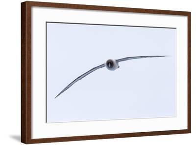 A Light-Mantled Albatross in Flight in the South Shetland Islands, Antarctica-Ralph Lee Hopkins-Framed Photographic Print