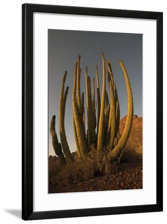 Organ Pipe Cacti at Sunset-Bill Hatcher-Framed Photographic Print