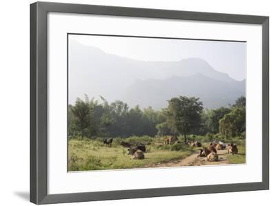 Cattle Lie in the Middle of a Road at the Nilgiri Foothills-Kelley Miller-Framed Photographic Print