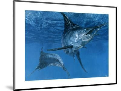 Double Header: Makaira Nigricans, Blue Marlin Inspect Baits While One Devours a Ballyhoo-Stanley Meltzoff-Mounted Giclee Print