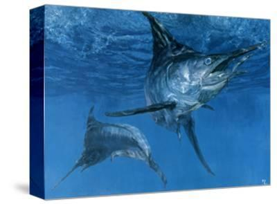 Double Header: Makaira Nigricans, Blue Marlin Inspect Baits While One Devours a Ballyhoo-Stanley Meltzoff-Stretched Canvas Print