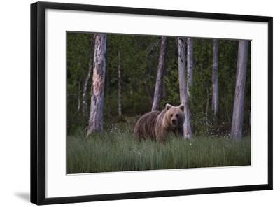 A European Brown Bear, Ursus Arctos Arctos, in Tall Grass-Sergio Pitamitz-Framed Photographic Print
