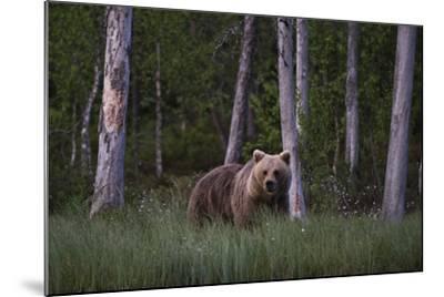 A European Brown Bear, Ursus Arctos Arctos, in Tall Grass-Sergio Pitamitz-Mounted Photographic Print
