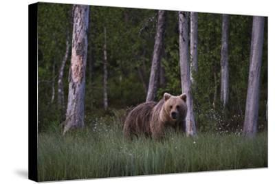 A European Brown Bear, Ursus Arctos Arctos, in Tall Grass-Sergio Pitamitz-Stretched Canvas Print