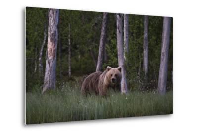 A European Brown Bear, Ursus Arctos Arctos, in Tall Grass-Sergio Pitamitz-Metal Print