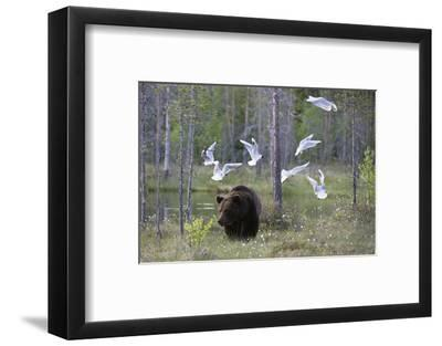 European Brown Bear, Ursus Arctos Arctos, Walking Followed by Black-Headed Gulls, Larus Ridibundus-Sergio Pitamitz-Framed Photographic Print