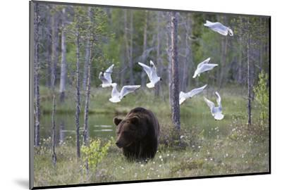 European Brown Bear, Ursus Arctos Arctos, Walking Followed by Black-Headed Gulls, Larus Ridibundus-Sergio Pitamitz-Mounted Photographic Print
