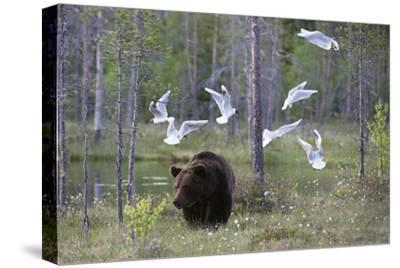 European Brown Bear, Ursus Arctos Arctos, Walking Followed by Black-Headed Gulls, Larus Ridibundus-Sergio Pitamitz-Stretched Canvas Print