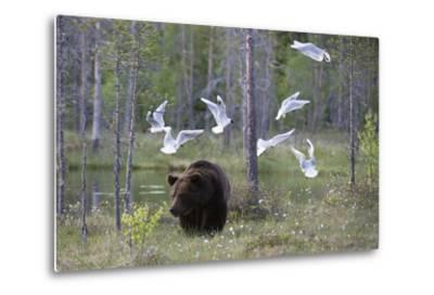 European Brown Bear, Ursus Arctos Arctos, Walking Followed by Black-Headed Gulls, Larus Ridibundus-Sergio Pitamitz-Metal Print