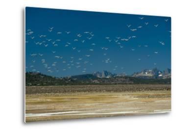 Gulls Fly over an Alkaline Pond in the Sierra Nevada Near Mammoth Lakes, California-Gordon Wiltsie-Metal Print