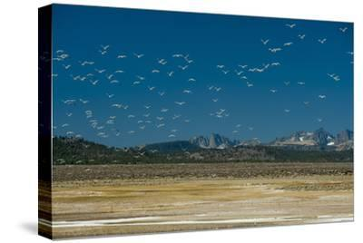 Gulls Fly over an Alkaline Pond in the Sierra Nevada Near Mammoth Lakes, California-Gordon Wiltsie-Stretched Canvas Print