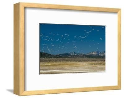 Gulls Fly over an Alkaline Pond in the Sierra Nevada Near Mammoth Lakes, California-Gordon Wiltsie-Framed Photographic Print